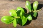 leaf position