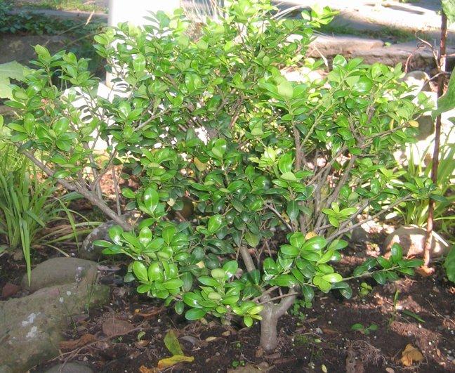 Similiar Evergreen Shrub Identification Keywords