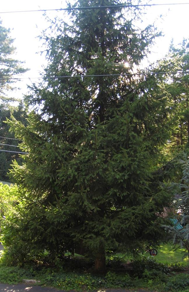 Needle Evergreen Far From Loam